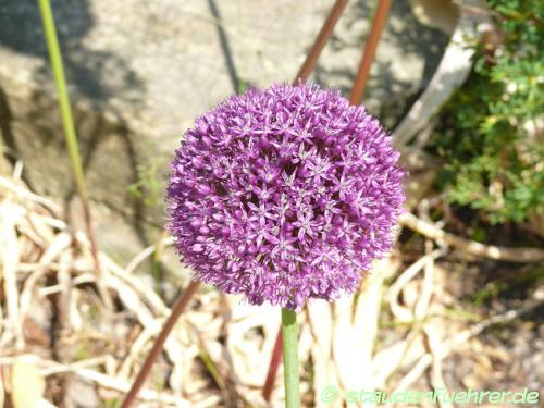Bild Allium-Hybride Ambassador