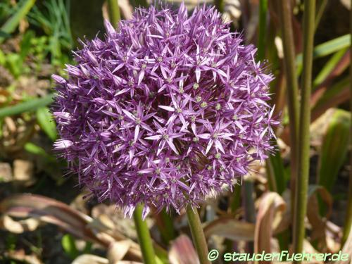 Bild Allium-Hybride Lucy Ball