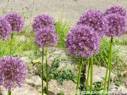 Bild Allium-Hybride Pinball Wizard