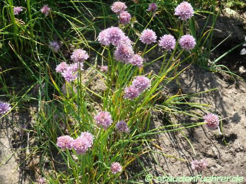 Bild Allium schoenoprasum