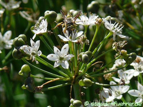 Bild Allium tuberosum