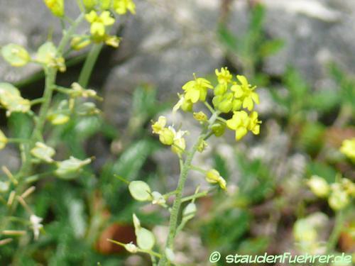 Bild Alyssum montanum