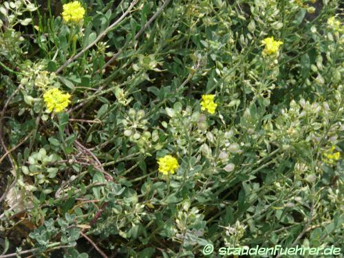 Bild Alyssum wulfenianum