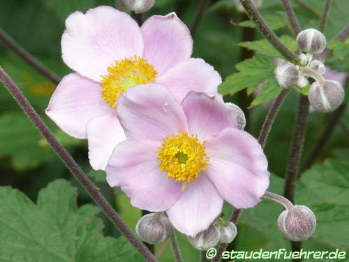 Image Anemone hupehensis japonica