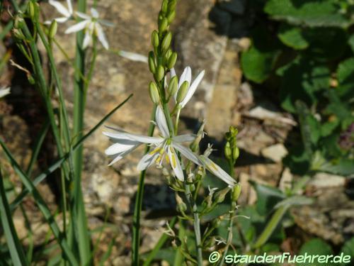 Bild Anthericum liliago
