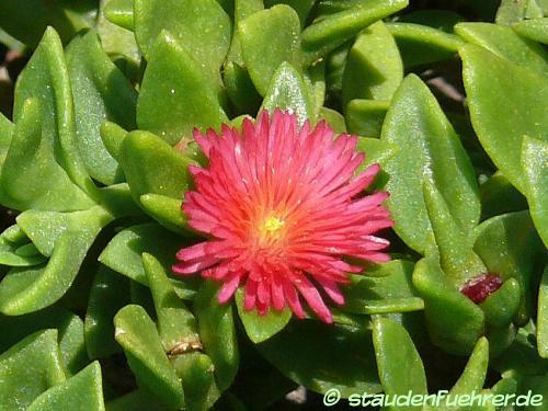 Bild Aptenia cordifolia