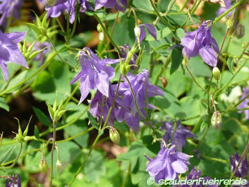Image Aquilegia vulgaris