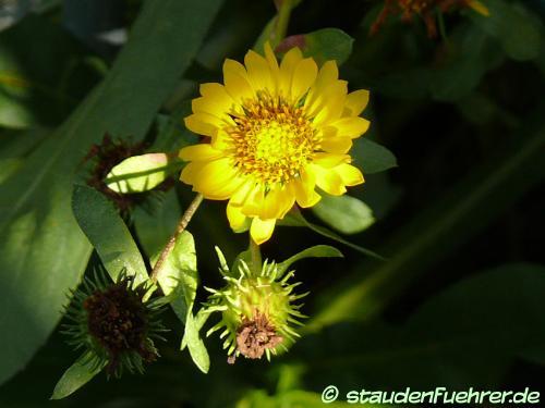 Bild Arnica longifolia