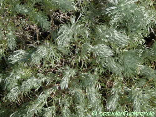 Bild Artemisia schmidtiana 'Nana'