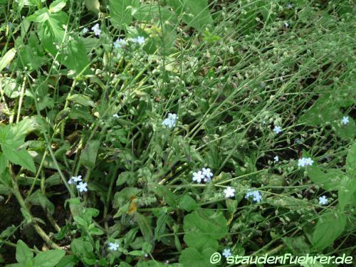 Bild Aruncus sinensis 'Zweiweltenkind'