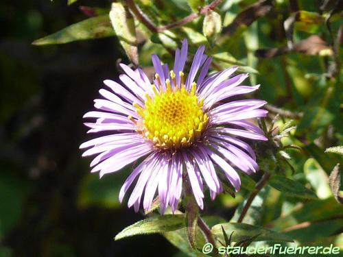 Bild Aster novae-angliae-Symphyotrichum novae-angliae