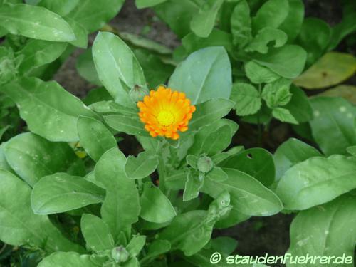 Bild Calendula officinalis