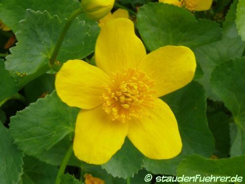 Bild Caltha palustris