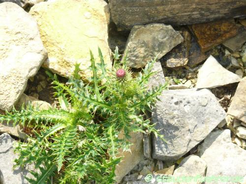 Bild Carduus defloratus ssp. carlinaefolius