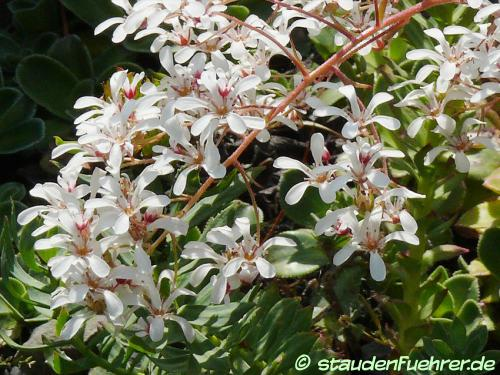 Bild Carex norvegica