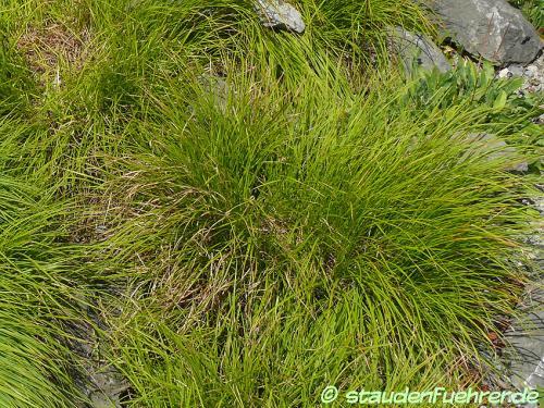 Bild Carex sempervirens