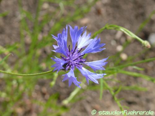 Bild Centaurea cyanus