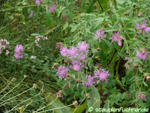 Bild Centaurea jacea