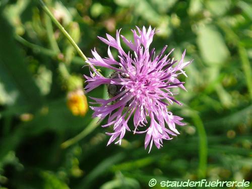 Image Centaurea scabiosa
