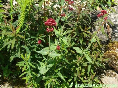 Bild Centranthus ruber