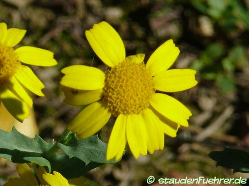 Image Chrysanthemum segetum+Glebionis segetum