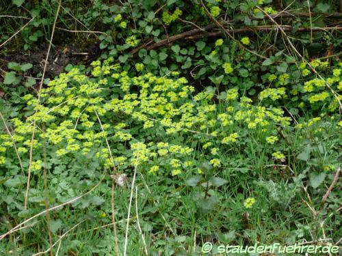Image Chrysosplenium alternifolium
