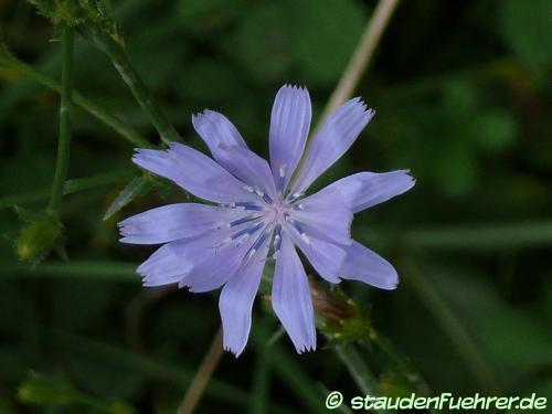 Bild Cichorium intybus