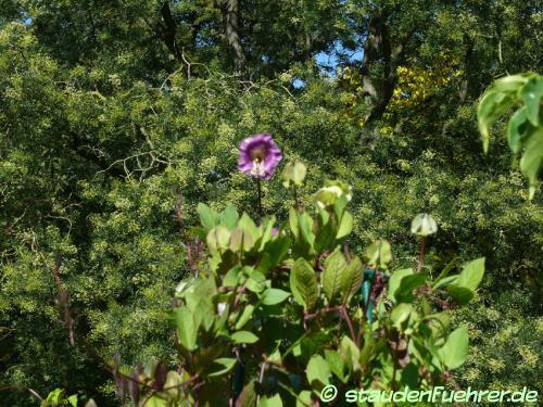 Bild Cobaea scandens