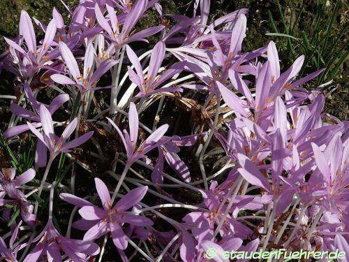 Bild Colchicum autumnale