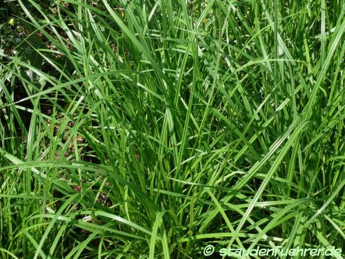 Bild Cyperus esculentus