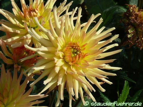 Bild Dahlia 'Garden Princess'