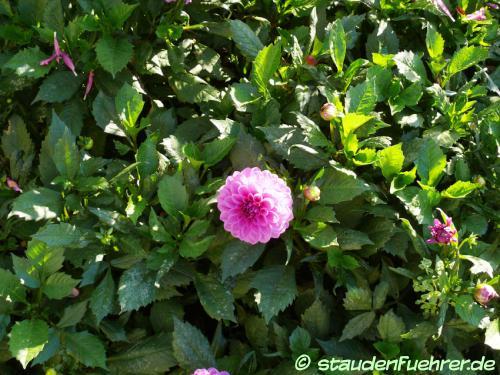 Bild Dahlia 'Lubega Power Lavender'