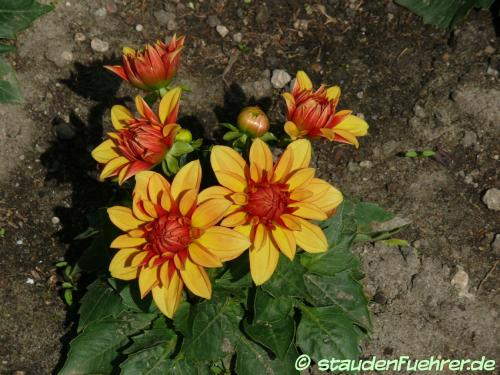 Bild Dahlia 'Lubega Power Bronze Bicolor'