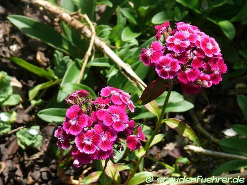 Bild Dianthus barbatus