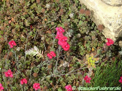 Bild Dianthus deltoides 'Brillant'
