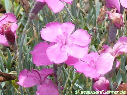 Bild Dianthus gratianopolitanus `'Baby Lom'