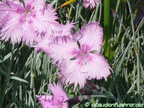 Bild Dianthus gratianopolitanus