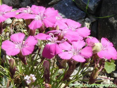 Bild Dianthus pavonius