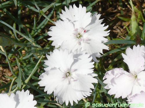 Bild Dianthus pulmonarius ssp. lumnitzeri