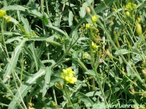 Bild Diplotaxis tenuifolia