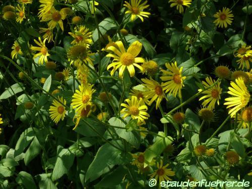Bild Doronicum austriacum