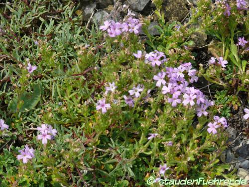 Bild Erinus alpinus