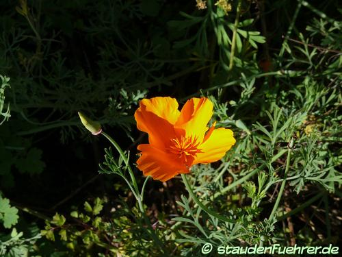Bild Eschscholzia californica