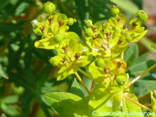 Bild Euphorbia palustris