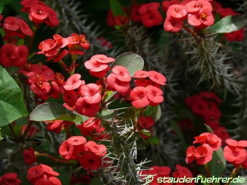 Bild Euphorbia splendens