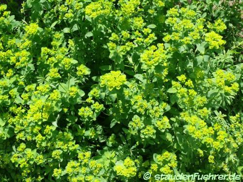 Bild Euphorbia verrucosa