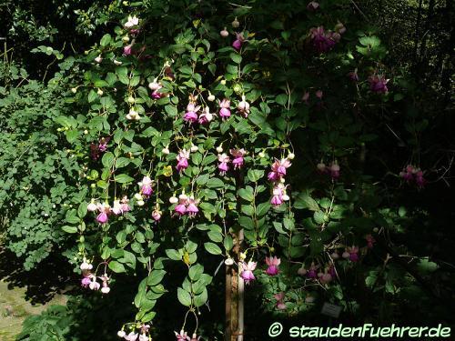 Bild Fuchsia 'Paula Jane'