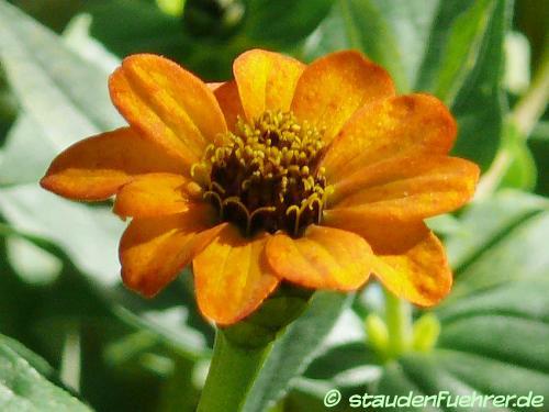 Bild Gaillardia aristata