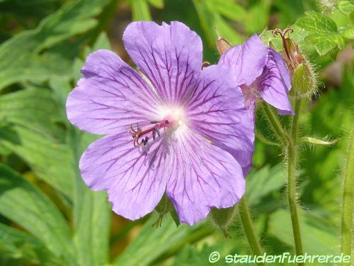Bild Geranium bohemicum