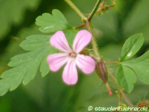 Bild Geranium robertianum